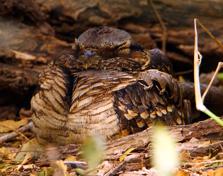 Common pauraque roosting on ground. Bird is so well camouflaged that you could step on it without seeing it.