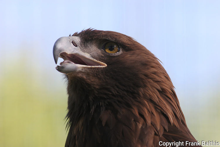 Golden eagle,   FB 403  Front of 5x7 postcard