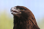 Golden eagle,   FB 403  Front of 5x7 postcard