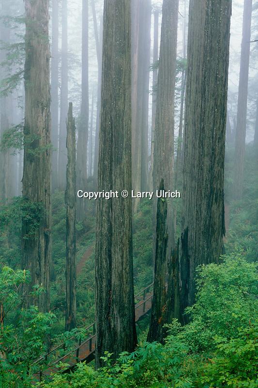 Coast redwoods<br /> Damnation Creek Trail<br /> Del Norte Coast  Redwoods State Park<br /> Del Norte County,  California