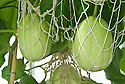 Ripening melons supported in string net, glasshouse, early July.