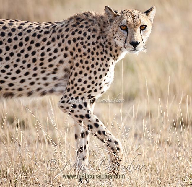 Alert female cheetah walking past looking at the camera in Kenya, Africa Sunset over Amboseli, Kenya, Africa (photo by Wildlife Photographer Matt Considine)