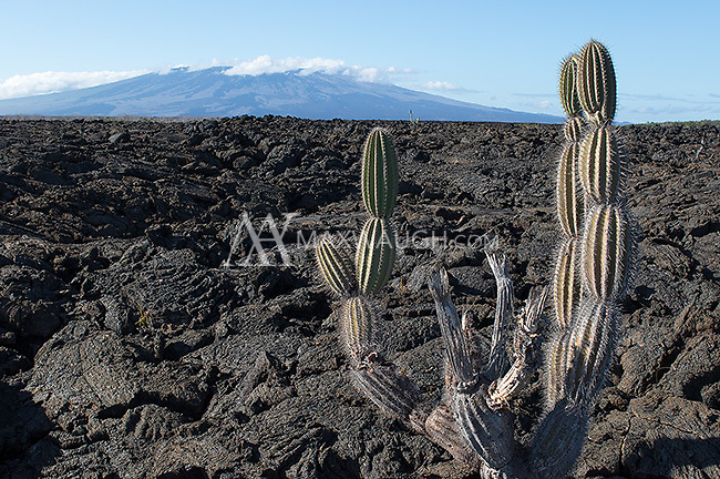 Much of the plantlife on the Galapagos Islands is similar to that found in arid environments on the mainland.  This vast lava field is found on Isla Isabela.