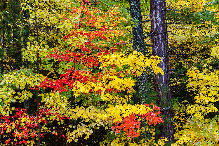 Maple trees and forest in Fall color; Northern Highland-American Legion State Forest. Oneida County, WI