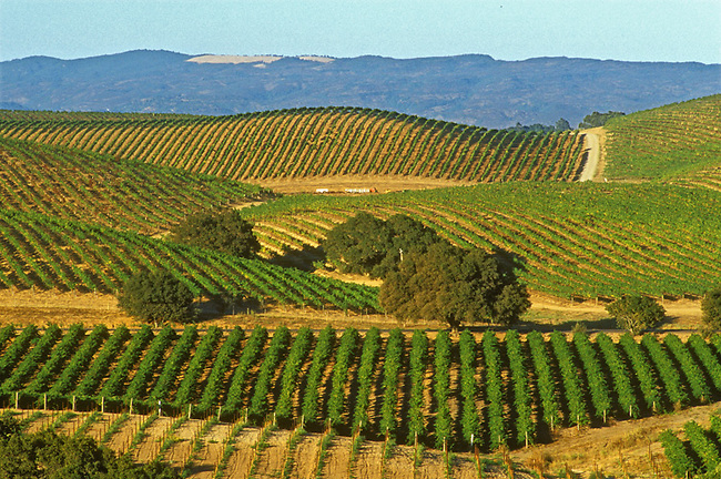 Vineyards in Carneros district of Napa Valley