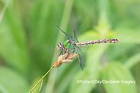 06468-00108 Westfall's Snaketail (Ophiogomphus westfalli) Centerville Slough fen Reynolds Co. MO