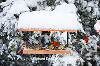 00585-03606 Northern Cardinals, House Finch & American Goldfinches on tray feeder in winter, Marion Co. IL