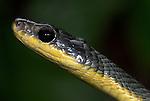 Colubridae Snake, Chironius carinatus, Hacienda Baru, Costa Rica, close up showing large eyes, portrait, tropical jungle.Central America....