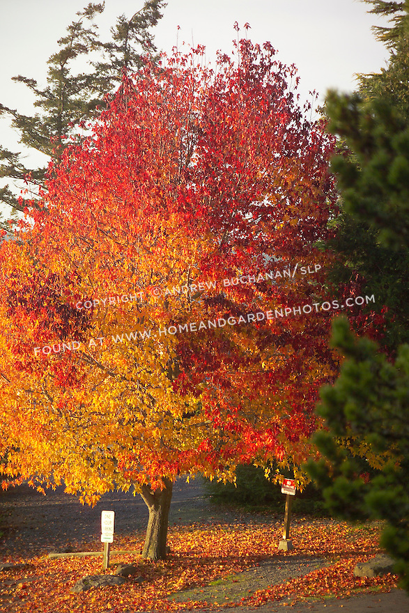 a single oak tree blazes red and orange in early morning November sunlight on Washington State's Orcas Island.