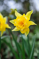 Narcissus - Check Variety with Olive Mason