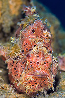 Painted Frogfish Antennarius pictus, Bitung, Lembeh Strait, Celebes Sea, Sulawesi, Indo-Pacific, Indonesia