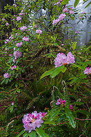 Rhododendron  (Rhododendron macrophyllum) in fog, Redwood National Park, California.