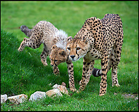 BNPS.co.uk (01202 558833)<br /> Pic: IanTurner/BNPS<br /> <br /> The waiting game... Longleat's Cheetah cubs learn how to stalk in the grass.<br /> <br /> Two cheeky cheetah cubs have proven they were born to run - showing off their impressive speed for the first time.<br /> <br /> The six-month-old rare twins Poppy and Winston, the first cheetahs ever to be born at Longleat Safari Park in Wiltshire, have started developing the hunting skills they would need in the wild.<br /> <br /> Keepers at the wildlife park set up a speeding lure, similar to those used at greyhound races, to put the youngsters through their paces.