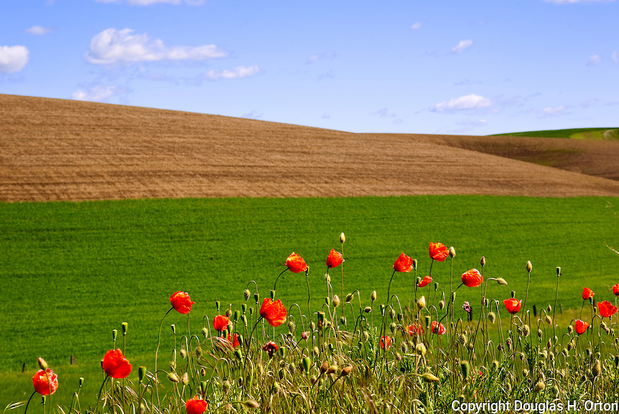 California poppies line a Palouse Washington region farm road in late spring.