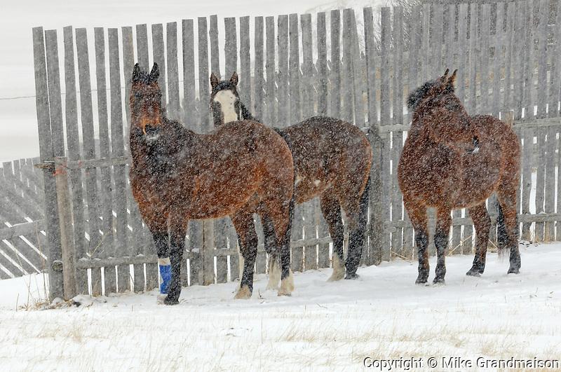 Horsesby fence  in winter storm<br /> near Maple Creek<br /> Saskatchewan<br /> Canada