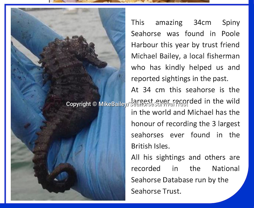 BNPS.co.uk (01202 558833)<br /> Pic: MikeBailey/SeahorseSurvivalTrust/BNPS<br /> <br /> The article in the SST newsletter..<br /> <br /> The world's largest seahorse has been discovered by a fisherman off the British coast, sparking fresh hope for the threatened mystical creatures.<br /> <br /> The whopping 13-inch spiny seahorse was accidentally hauled in by Michael Bailey while he was out fishing for mullet in Poole Harbour, Dorset.<br /> <br /> Experts say the enormous fish is around twice the average size for the species - and smashes the existing record by almost two inches.