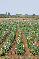 Potatoes <br /> &copy;Tim Scrivener Photographer 07850 303986<br />      ....Covering Agriculture In The UK....