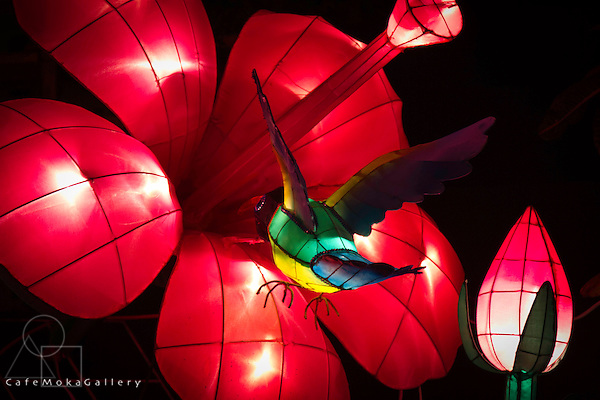 Chinese Lantern Festival, to celebrate Chinese Lunar New Year - red hibiscus and hummingbird