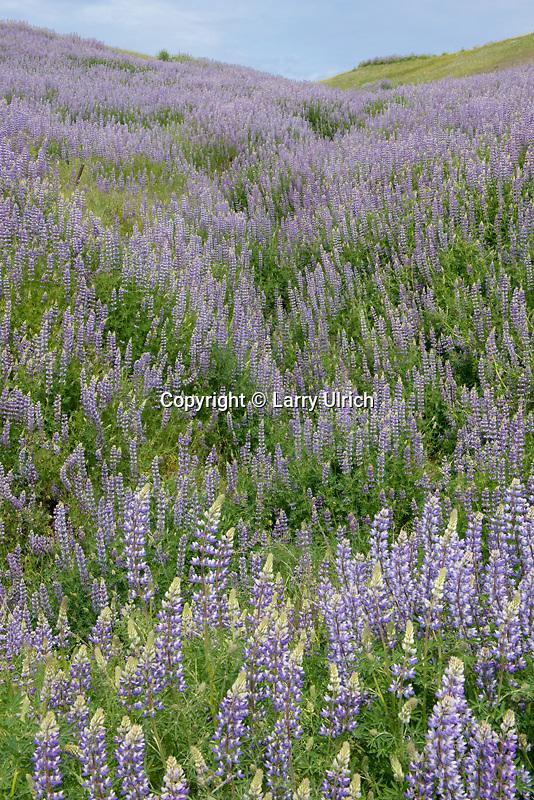 Riverbank lupine on Schoolhouse Peak<br /> Bald Hills Road<br /> Redwood National Park<br /> Humboldt County, California