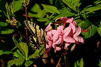Swallowtail Butterfly landing on azaleas in the West Canada Lake Wilderness Area in the Adirondack Mountains of New York State