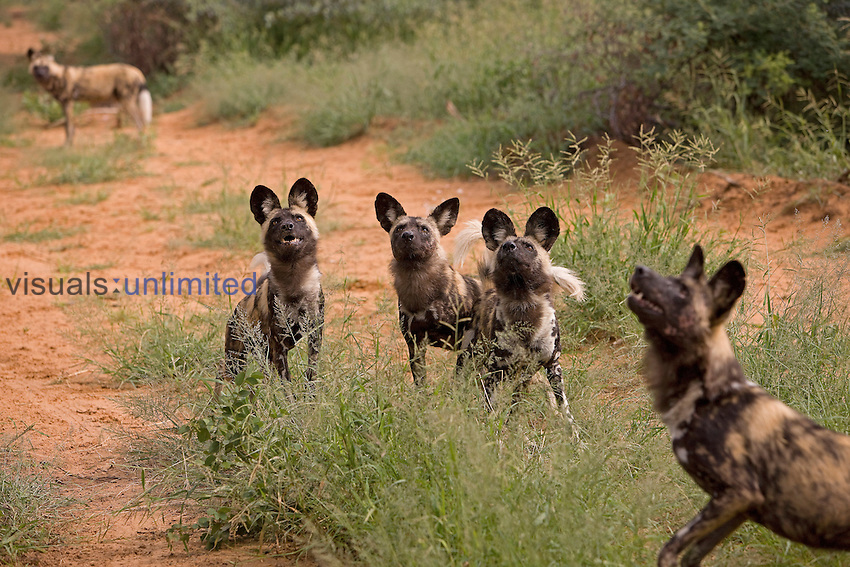 African Wild Dogs (Lycaon pictus), Namibia.