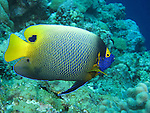Siaes Corner, Palau -- Yellow-mask angelfish on the reef.