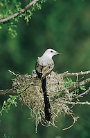 Scissor-tailed Flycatcher, Tyrannus forficatus,adult on nest with young, Welder Wildlife Refuge, Sinton, Texas, USA, June 2005