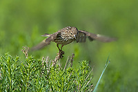 578590010 a wild pine siskin carduelis pinus forages on wild bushes in bryce canyon national park utah united states
