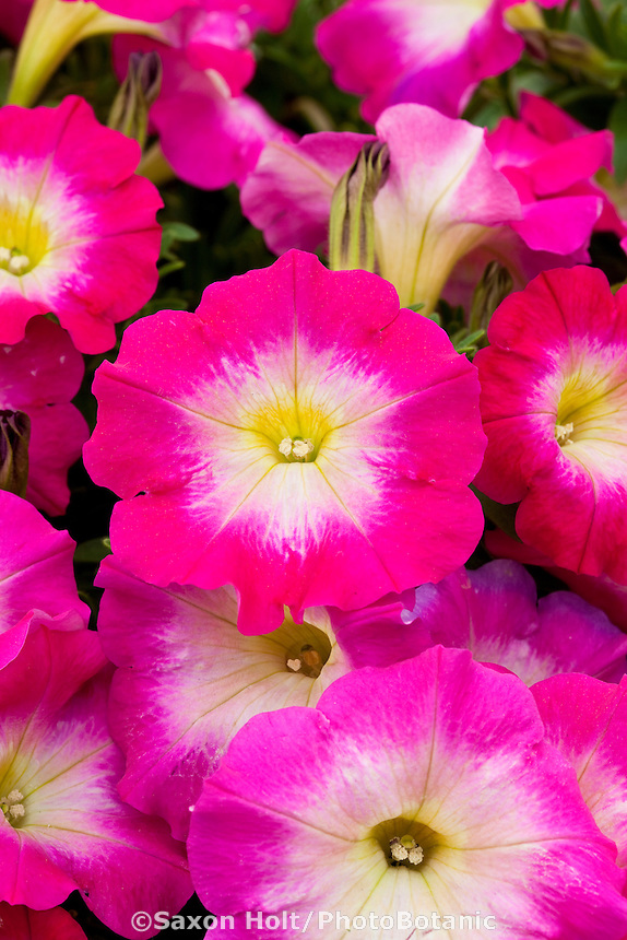 Danziger - Petunia Fantasy Hot Pink, annual flower