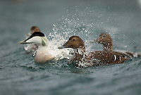 Common eider, Somateria mollissima, Batsfiords, Norway, winter