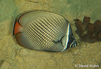 0512-1002  Collare Butterflyfish (Pakistan Butterflyfish), Chaetodon collare  © David Kuhn/Dwight Kuhn Photography