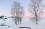 Yellowstone National Park, Wyoming: Frosted cottonwoods along Rose Creek at dawn in the Lamar Valley