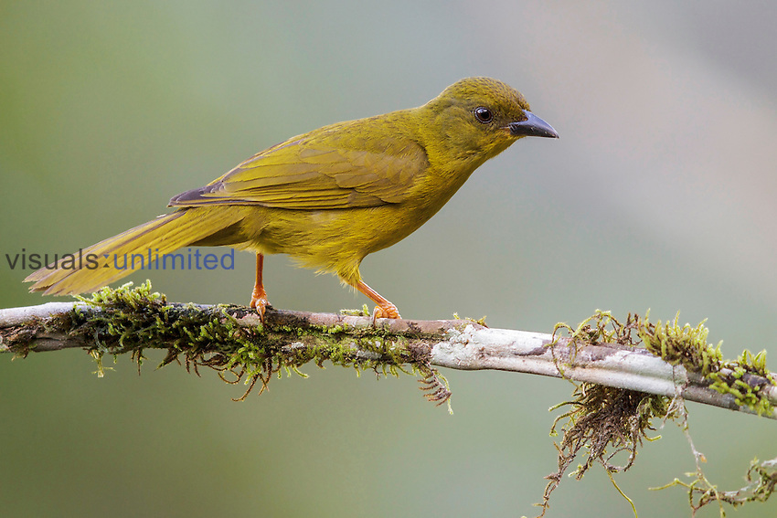 Olive-green Tanager (Orthogonys chloricterus), Southeast Brazil.