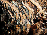 Feathers of a wild turkey after a hunt near Grand Island, Nebraska, Saturday, December 4, 2011. ..Photo by Matt Nager