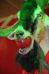 Bao-Jhong Yi-min Temple, Kaohsiung -- Sacrificial goat with an apple in its mouth at the annual 'Divine Pig' (Shen Zhu) festival during Ghost Month.