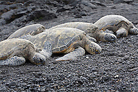 Sea Turtles on black sand beach in Hawaii