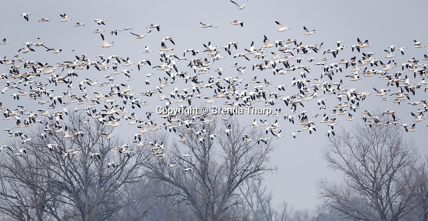 Migrating Snowgeese and other waterfowl flying in Merced National Wildlife Refuge, central California.