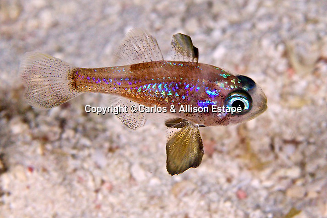Astrapogon puncticulatus, Blackfin cardinalfish, Florida Keys