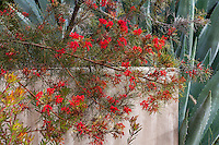 Grevillea 'Bonfire' red flowering shrub in California summer-dry garden with Agave by stucco wall; design Jo O'Connell
