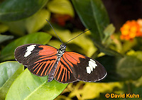 0101-0913  Elevatus Butterfly, Heliconius elevatus, Amazon © David Kuhn/Dwight Kuhn Photography