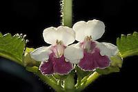 Immenblatt, Waldmelisse, Melittis melissophyllum, Melittis melissifolium, Oenonea melissifolia, bastard balm, La mélitte à feuilles de mélisse