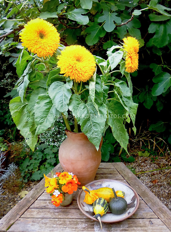 Bold and big Helianthus 'Goldy' sunflowers, cutflowers picked in pottery vase with orange and yellow Tropaeoleum nasturtiums and yellow and green gourds in bowl on rustic wooden table outside. Sunflower with double extra petals
