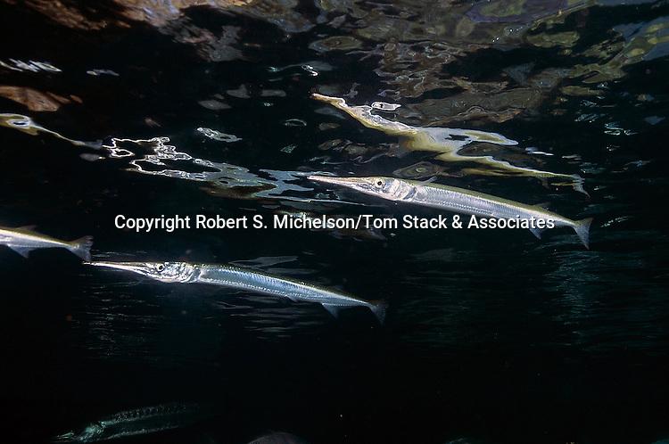 Redfin Needlefish 2 shot at surface