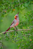 573900061 a wild male pyrrhuloxia cardinalis sinatus perches on a small tree limb on santa clara ranch starr county texas united states