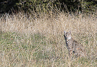 During my December visit to central California we had seventeen bobcat sightings over two days.