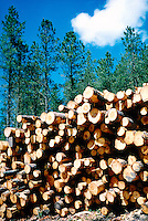 LOGGING<br /> Logged White Pine Trees<br /> Black Hills, SD