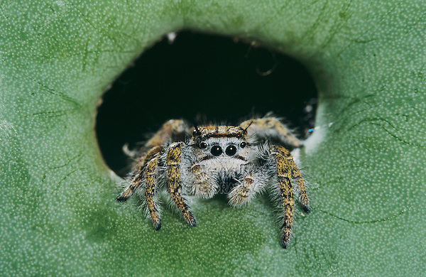 Jumping Spider, Salticidae, adult on Texas Prickly Pear Cactus (Opuntia lindheimeri) , Lake Corpus Christi, Texas, USA, May 2003