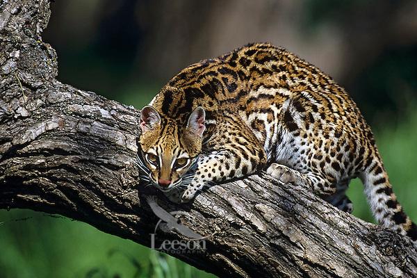 Ocelot (Leopardus pardalis).  Central America.
