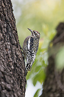 Yellow-bellied Sapsucker (Sphyrapicus varius), juvenile on a tree in New York City's Central Park in the fall.