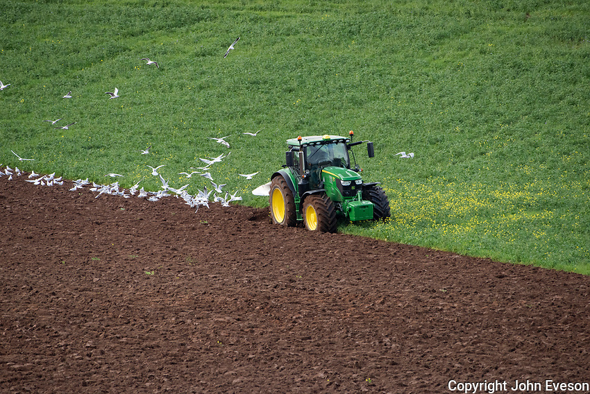 Ploughing a field classed as a EFA catch crop (Greening)  with black oats & phacelia direct drilled after whole cropped winter wheat(July) <br /> Then after 14th October you can re-establish another crop which will be winter barley.Ploughing-in a greening crop ready for sewing barley at Armathwaite, Carlisle, Cumbria.